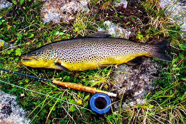 Big Brown trout,nordguide