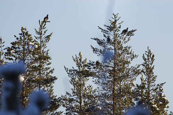 black grouse in tree line,nordguide