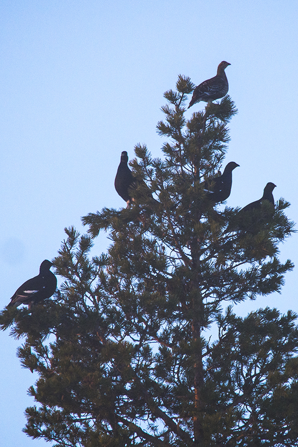 Blackgrouse in pine,nordguide