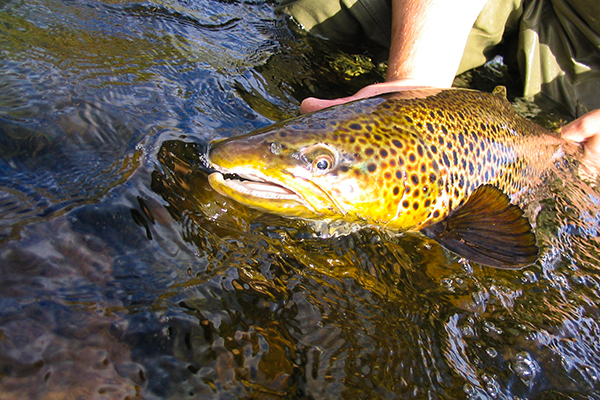 Brown trout fishing in Swedish Lapland