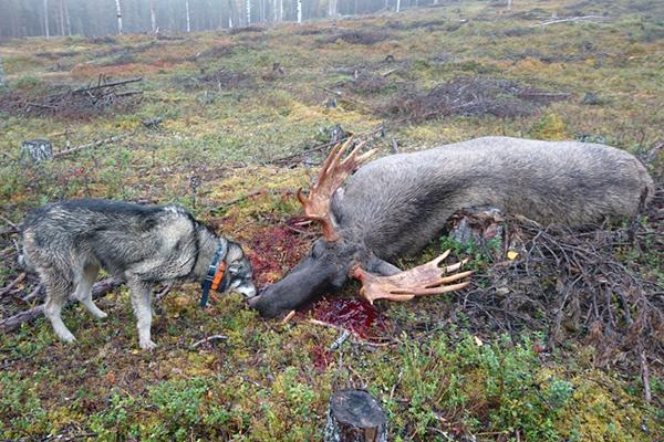 Big bull shoot under Ph Andreas Olofssons great moose dog