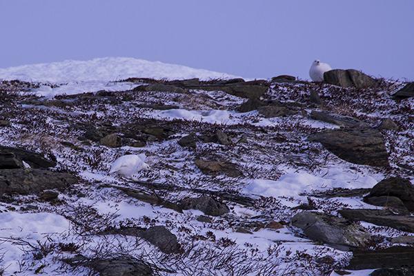Ptarmigans on ridge,nordguide