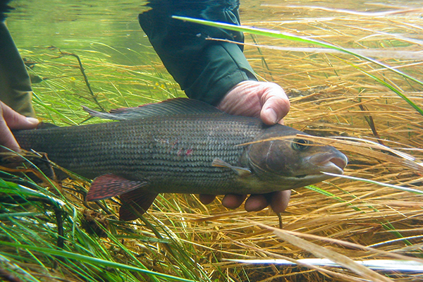 Grayling fishing in Swedish Lapland