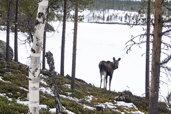 Young moose in Kvikkjokk